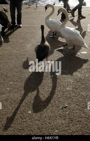 Swans walking along The Serpentine in Hyde Park, London. - Stock Photo