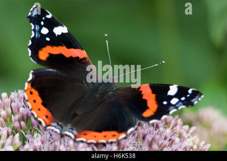 vanessa atalanta, the red admiral or previously, the red admirable, is a well-characterized, medium-sized butterfly - Stock Photo
