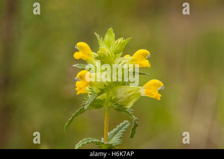 yellow rattle (Rhinanthus minor) flower growing in ancient woodland, Norfolk, England, UK - Stock Photo