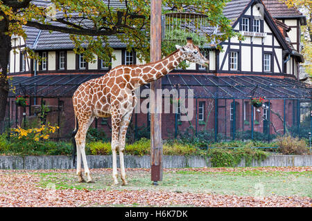 Reticulated giraffe (Giraffa reticulata), also known as the Somali giraffe, walks on the outdoors aviary in Berlin Zoo