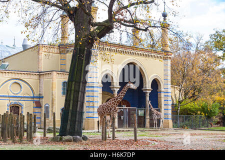 Family of Reticulated giraffes (also known as the Somali giraffe) walk on near the asian style building in Berlin Zoo