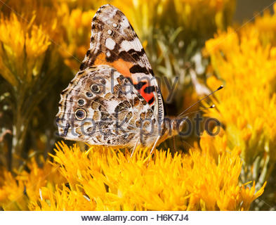 Painted Lady Vanessa cardui  Butterfly Arizona - Stock Photo