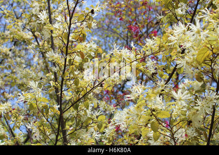 Milky white and purple witch hazel blossom during spring in Kyoto, Japan - Stock Photo