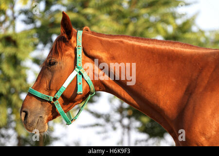 Head shot of a beautiful chestnut colored horse in the pinfold. Closeup portrait of a young gidran youngster - Stock Photo