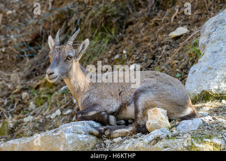 Young alpine ibex, closeup - Stock Photo
