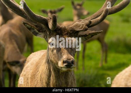 deer in wollaton park - Stock Photo