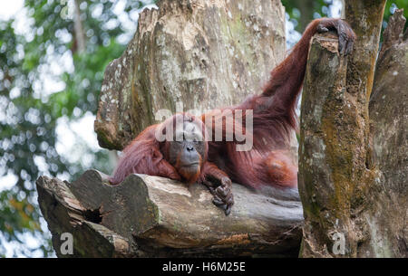 Concept: Intellect and Strength. Orangutan (Pongo pygmaeus) with strong hands and an intellectual look. - Stock Photo
