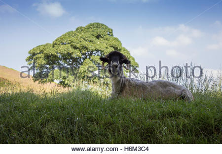 Sheep laying down stock image. A male sheep laying in the shade in the countryside on a warm summers day. - Stock Photo