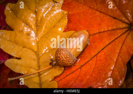 Acorn and Autumn Colours - Stock Photo