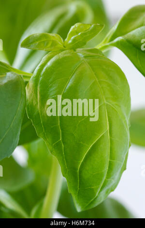 Detail of a large  leaf on a basil plant. White background. - Stock Photo