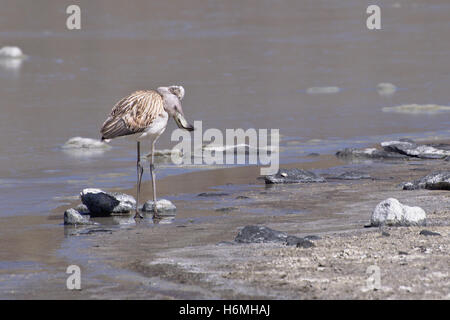 Juvenile Andean flamingo (Phoenicoparrus andinus) rubbing its head in the body - Stock Photo