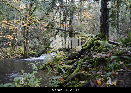 Deciduous and conifer trees in a coastal temperate rainforest in the Coast Mountains of British Columbia, Canada - Stock Photo