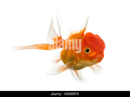 Lion's head goldfish swimming isolated on white - Stock Photo