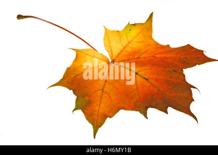 optional maple leaf veins autumn colouring orange design shaping formation shape model figure structure red leaves - Stock Photo