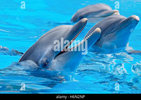 Three beautiful and funny dolphins during an exhibition in the water - Stock Photo