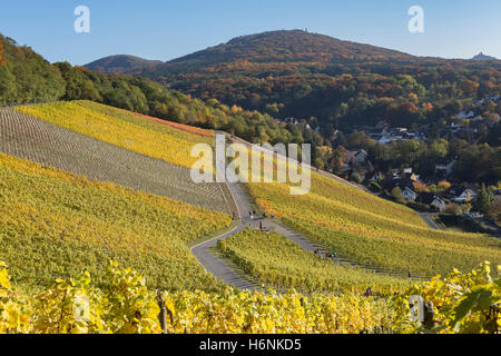 Vineyards in Koenigswinter Oberdollendorf - Stock Photo