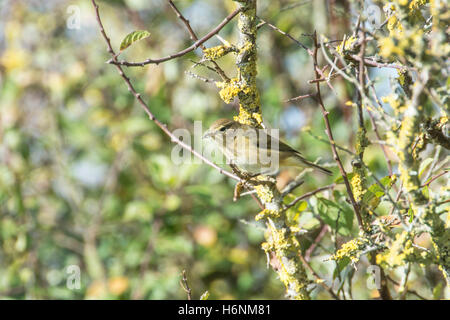 Chiffchaff (Phylloscopus collybita) foraging in coastal scrub whilst on autumnal migration - Stock Photo