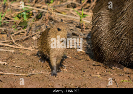 Wild Baby Capybara, Hydrochaeris hydrochaeris, next to its mother on the bank of a river in the Pantanal, Brazil, - Stock Photo