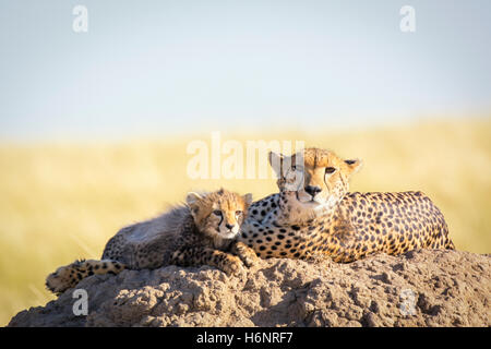 Wild Cheetah mother with cute small Cub, Acinonyx jubatus, Masai Mara National Reserve, Kenya, East Africa - Stock Photo