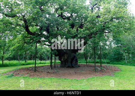Spring colours, English Oak Tree, (Quercus robur) in Sherwood Forest SSSI, Nottinghamshire, England, Britain, UK - Stock Photo