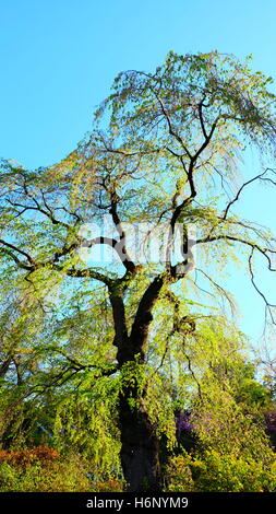 Tall tree in early spring with bright green young leaves - Stock Photo