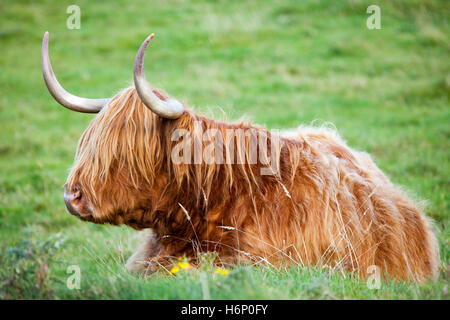 Highland Cattle lay down in meadow during pleasant weather in the Scottish Highlands - Stock Photo