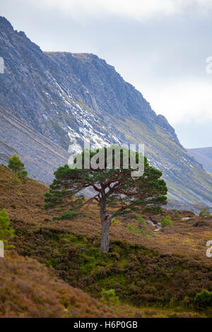 Lone Caledonian Tree located in the Lairig Ghru Pass in the Cairngorm Mountains part of the Caledonian Forest in - Stock Photo