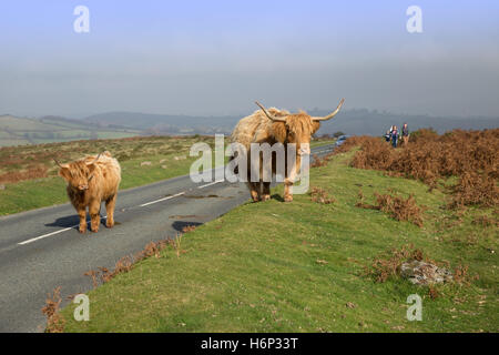 Highland longhorn cattle walking along the roads on Dartmoor, Devon, UK. - Stock Photo