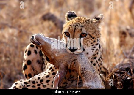 cheetah with prey,wildlife