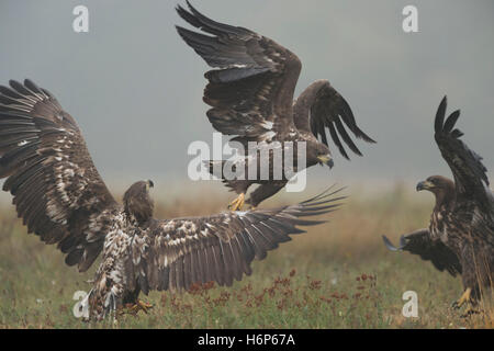 White-tailed Eagles / Sea Eagles ( Haliaeetus albicilla ), immature, subadult, young,  in fight, fighting, hazy - Stock Photo