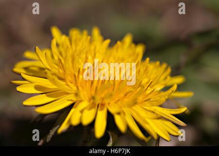 macro shot of a dandelion flower - Stock Photo