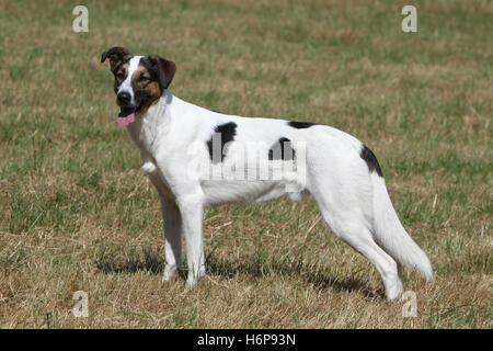 dog mongrel greyhound hound animal pet mammal brown brownish