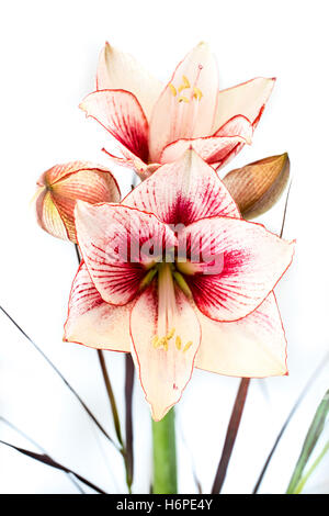 Abstract photo of a white and red amaryllis flower - Stock Photo