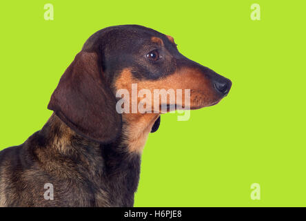 Adorable short-haired teckel in profile on green background - Stock Photo