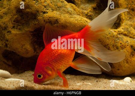 goldfish carp (cyprinidae) - Stock Photo