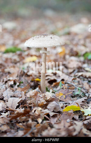 Parasol Mushroom,Macrolepiota procera on the forest floor - Stock Photo