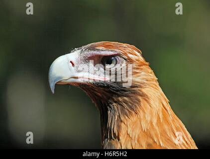 wedge eagle berry portrait keilschwanzadler tailed australien greifvogel springs keilschwanzadler aquila audax wedge - Stock Photo