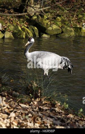 bird birds crane grayer animal bird asia birds steps step asiatic feathers feathering crane majestic grayer grey - Stock Photo