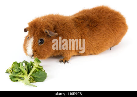 guinea pig with salad - Stock Photo