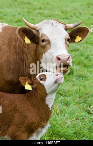 cow motherly love calf animal animals breeding cow bovine smooch cows waist belt motherly love farm animal calf - Stock Photo
