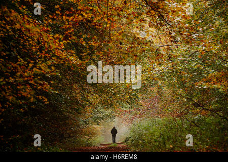 Queen Elizabeth Country Park near Petersfield, Hampshire, UK. 31st October, 2016.  A man walks through woodland - Stock Photo