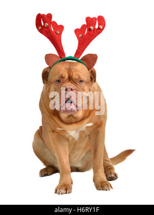 isolated winter animal pet hat dog party celebration cap puppy accessories accessory costume expression festive - Stock Photo