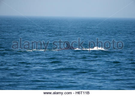 A Fin Whale, Balaenoptera physalus, surfacing in Massachusetts Bay. - Stock Photo