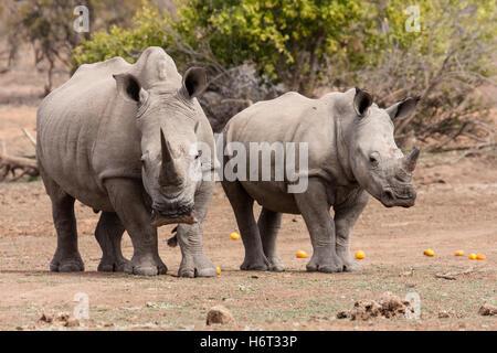 white rhinoceros (ceratotherium simum) - Stock Photo
