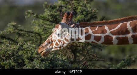 "A Reticulated giraffe Giraffa reticulata ""Somali giraffe"", stretching to feed on acacia undergrowth, Laikipia Kenya Africa"