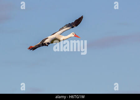 White Stork Ciconia ciconia or European Stork flying in to gather with the rest of the flock, Laikipia Kenya Africa - Stock Photo
