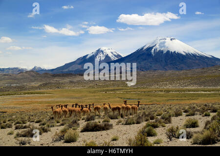 Vicunas near volcanoes. Payachata volcanic group at Lauca National Park, Chile - Stock Photo