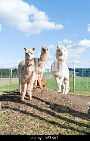 colour animal pet mammal brown brownish brunette agriculture farming field fur wool standing exotic vertical cultivation - Stock Photo