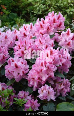 garden, flower, plant, bloom, blossom, flourish, flourishing, rhododendron, - Stock Photo