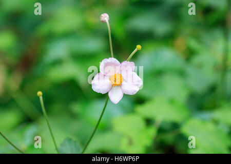 Japanese anemone (Anemone hupehensis) in a garden. - Stock Photo